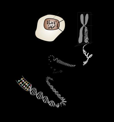 Chromosomes et ADN