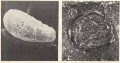 Fossiles les plus anciens cellules eucaryotes