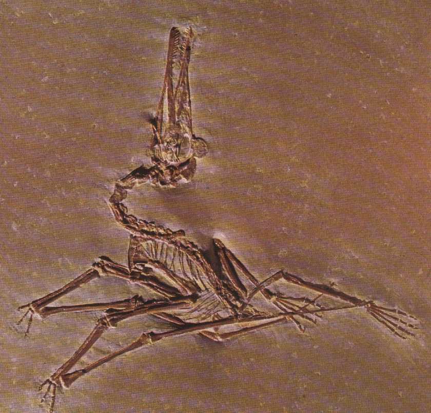 Pterodactylus elegans fin Jurassique (II aire 150 ma)