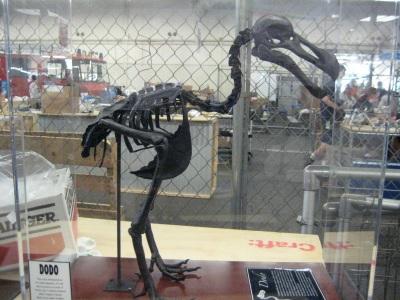 Squelette de Dodo  XIXème siècle