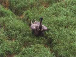Eléphant en colère - Gabon