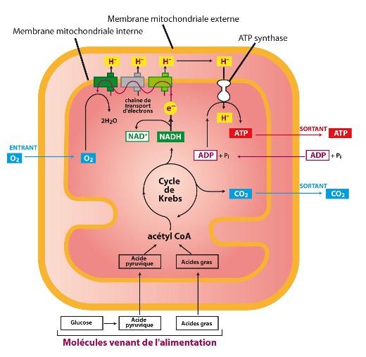 Fonctionnement mitochondrial