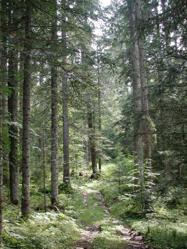 Forêt (boréale) de conifères (Taïga)