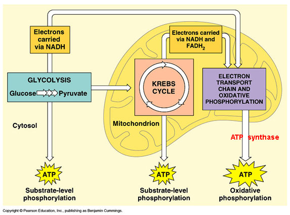 Glycolyse et respiration mitochondriale