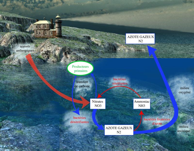 Cycle de l'azote et eutrophisation