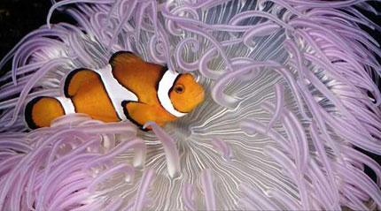 http://lamaisondalzaz.files.wordpress.com/2010/02/symbiose-poisson-clown-et-anemone.jpg