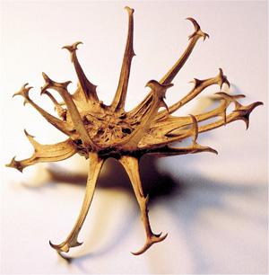 Les plantes utilent aux chevaux  Harpagophytum-zoochorie