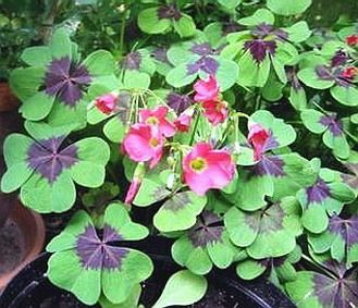 http://lamaisondalzaz.files.wordpress.com/2010/03/oxalis.jpg